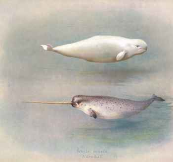 beluga y narval