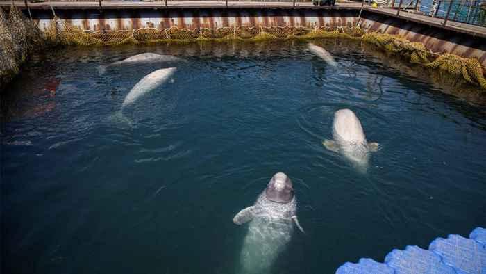 ballenas beluga en la cárcel de ballenas