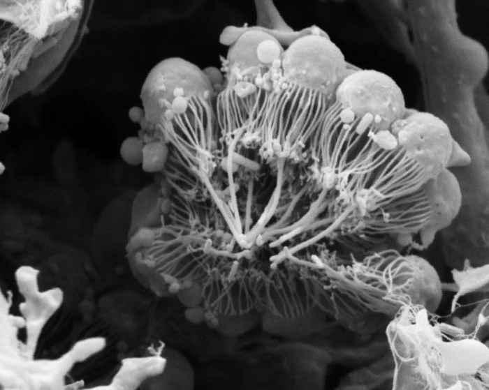 coanocitos de la esponja Amphimedon queenslandica