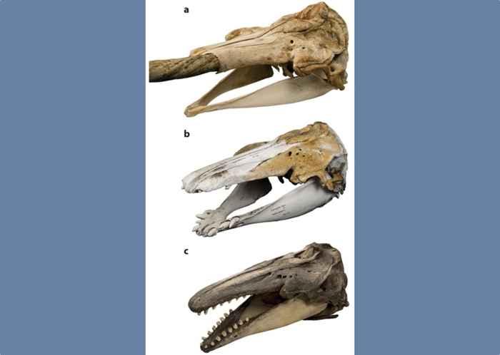 cráneos de narval, híbrido y beluga