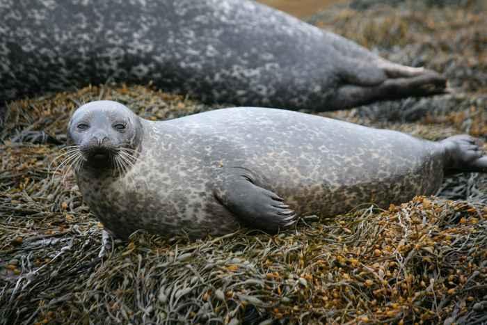 foca de puerto