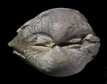 fósil marino del Cretácico-Paleógeno