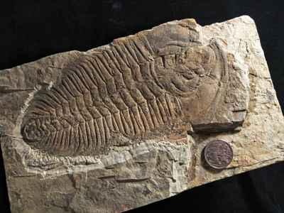 fósil de trilobite Redlichia rex