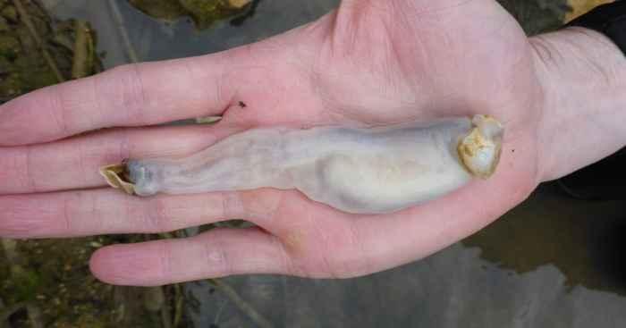 gusano de barco Lithoredo abatanica en una mano