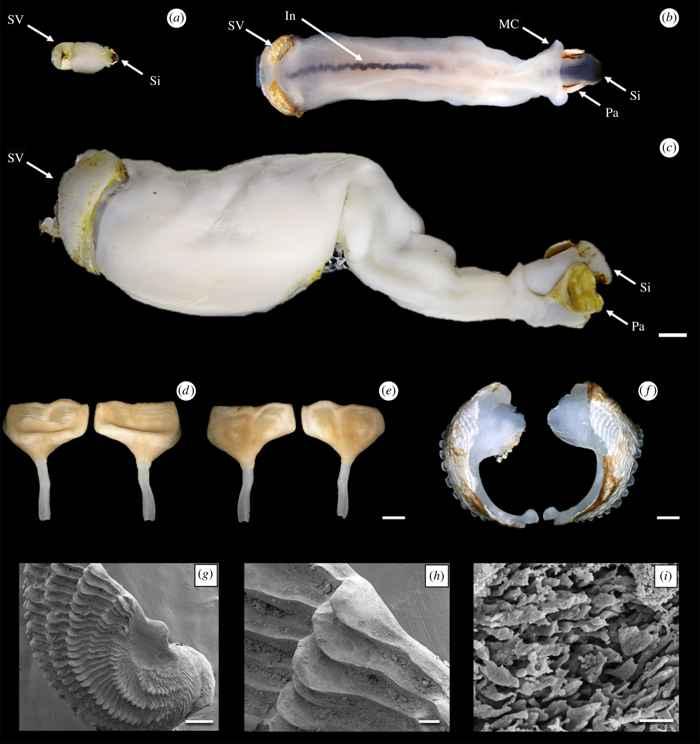 gusano de barco Lithoredo abatanica