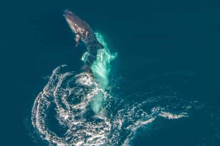 intento de apareamiento de tiburones ballena