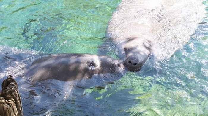 manatíes en el Zoo de Tampa