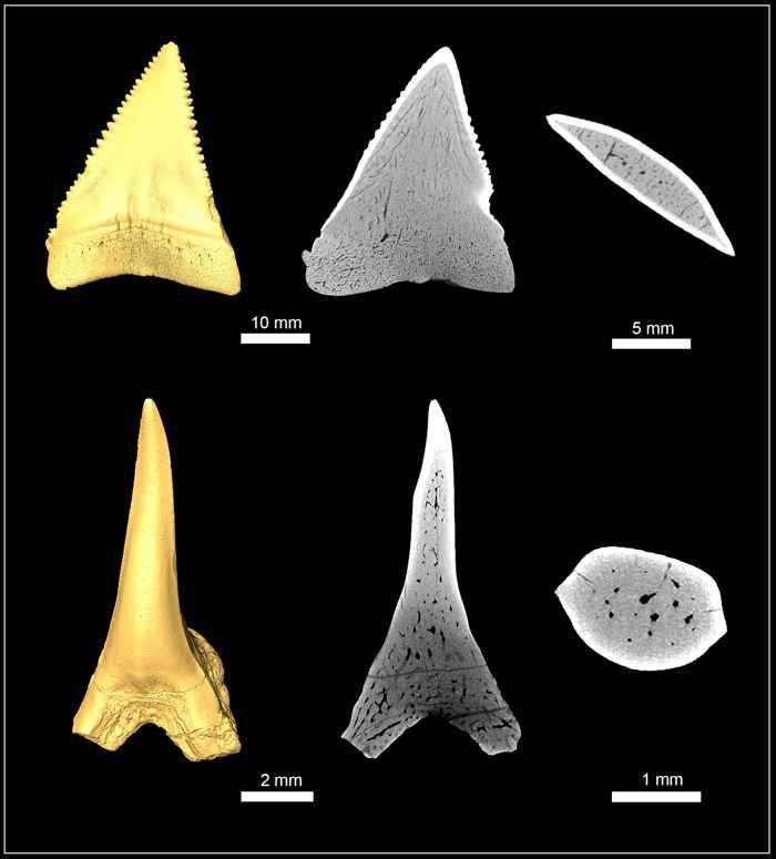 micro CT de dientes de tiburón