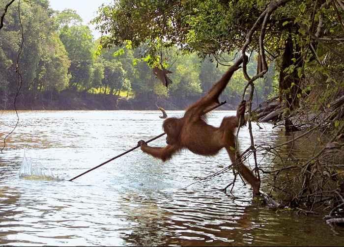 un orangután pesca con lanza