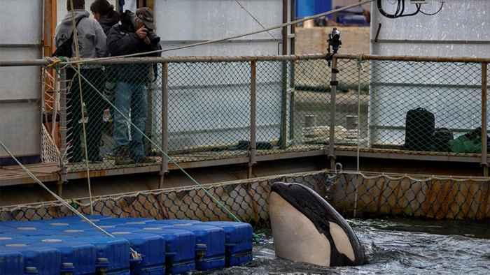 orca en la cárcel de ballenas