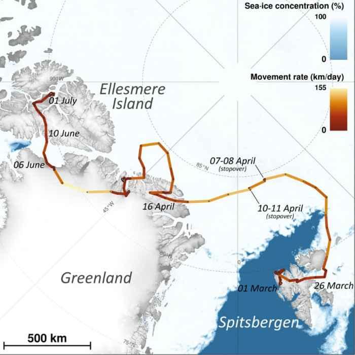 recorrido del zorro ártico hembra