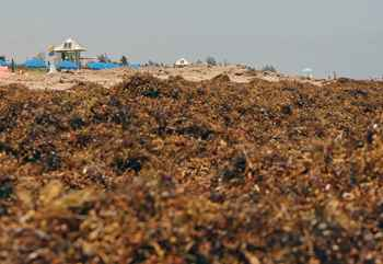 acumulación de sargazo en una playa