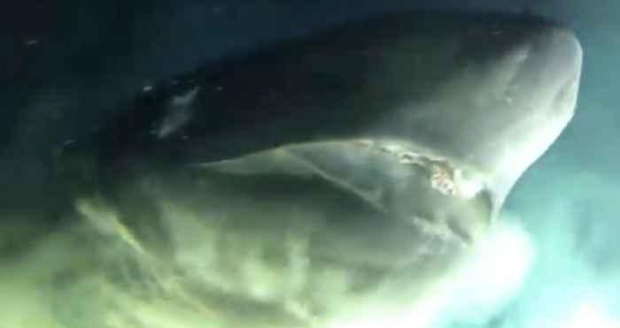 tiburón de seis braquias (Hexanchus griseus)