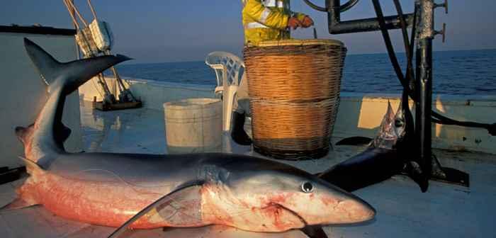 tiburón pescado en el Mediterráneo
