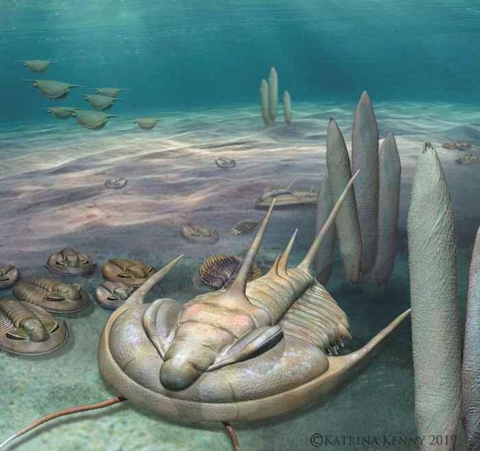 trilobite Redlichia rex