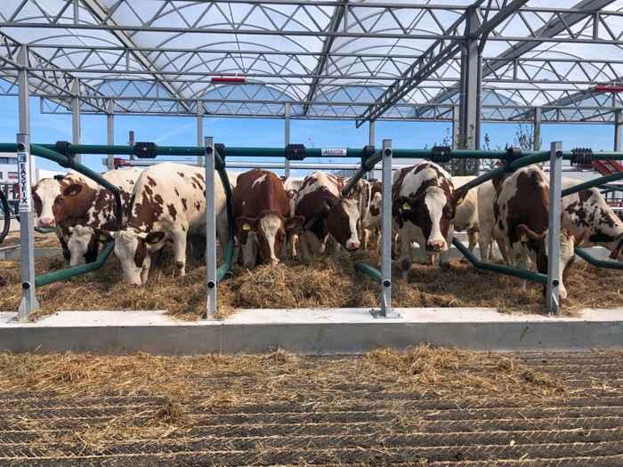 vacas en la lechería flotante en los Países Bajos
