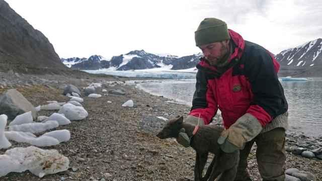 zorro ártico (Vulpes lagopus) con collar de rastreo