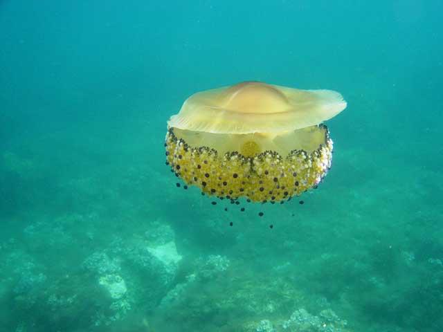 medusa huevo frito (Cotylorhiza tuberculata)