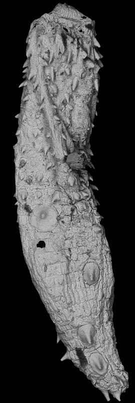fósil de gusano de barro Eokinorhynchus rarus