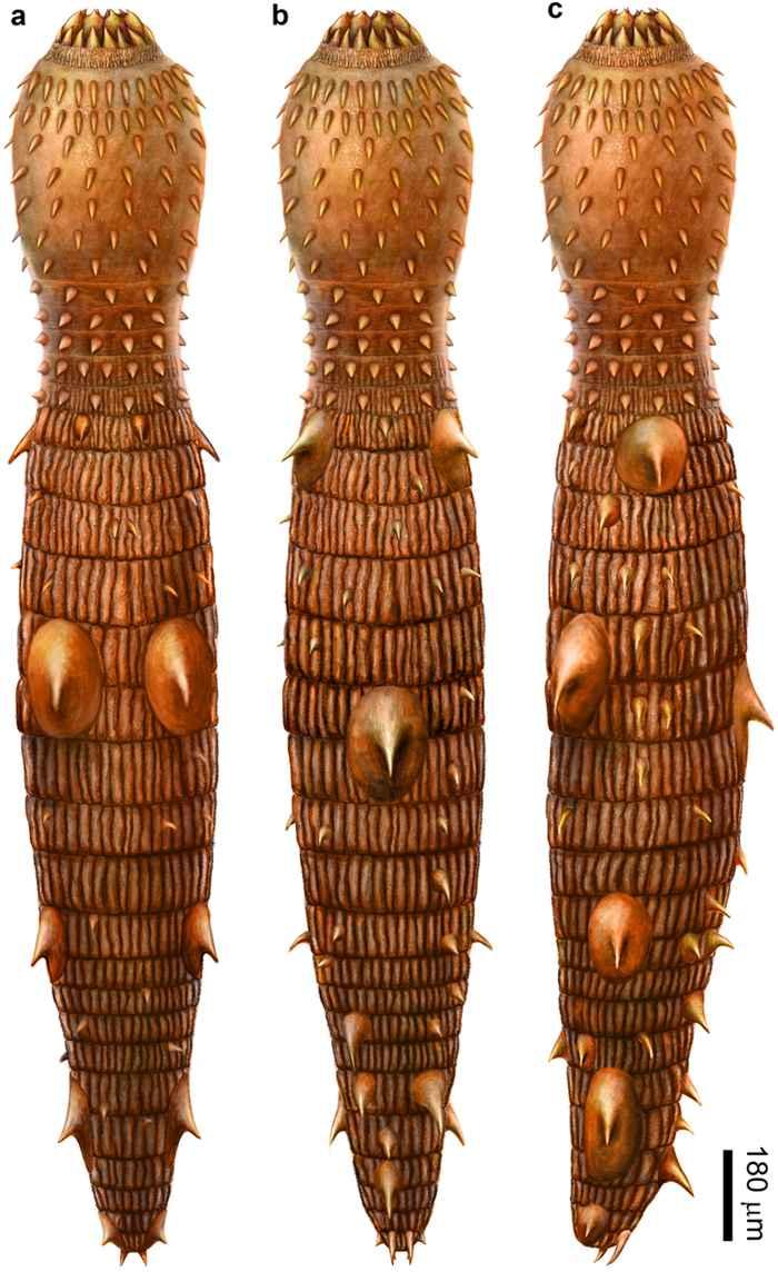 antiguo gusano de barro Eokinorhynchus rarus