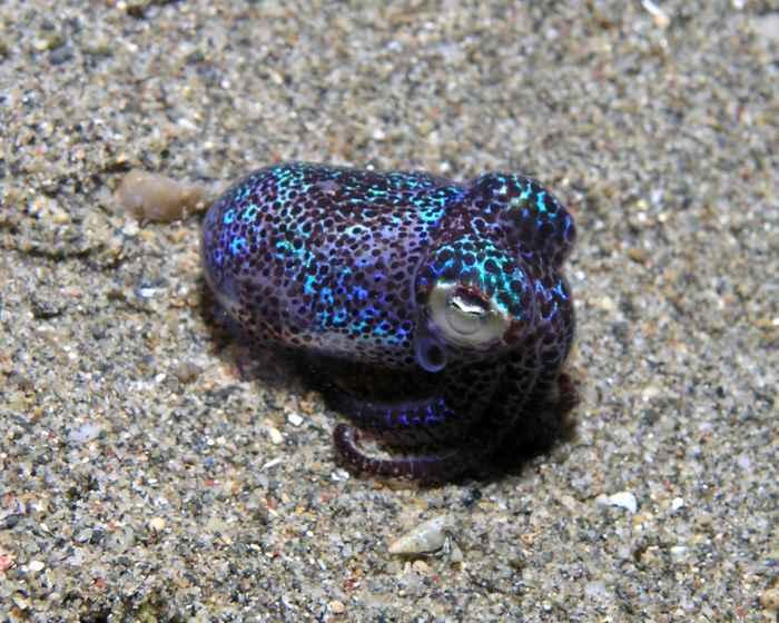calamar bobtail (Euprymna berryi)
