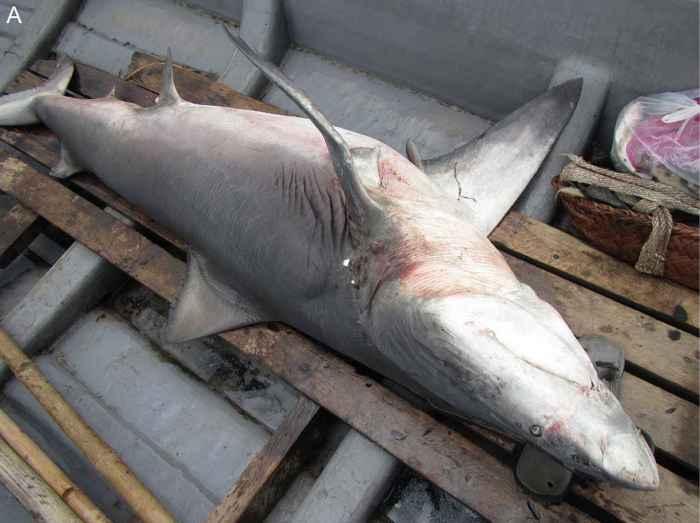 tiburón dientes de lanza (Glyphis glyphis)