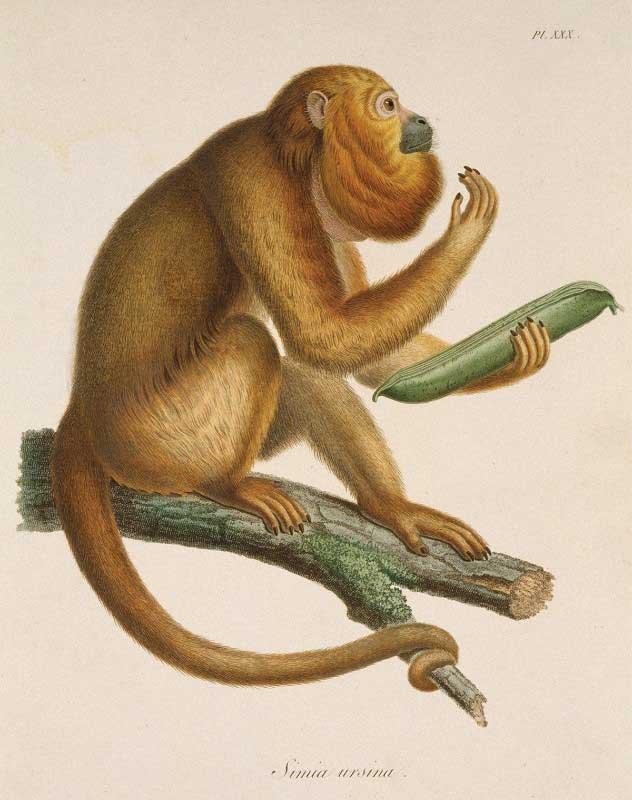 dibujo de un mono heho por Humboldt