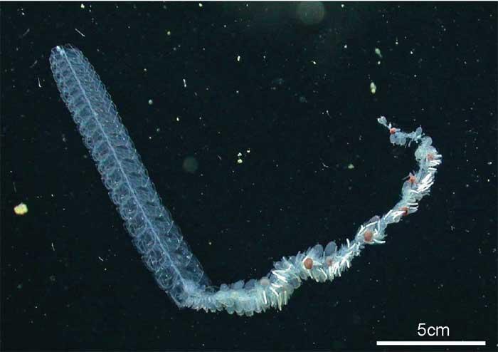 Nanomia bijuga