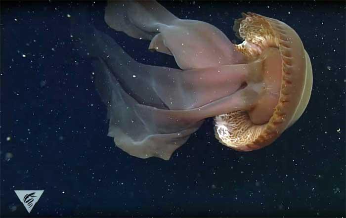 Stygiomedusa gigantea