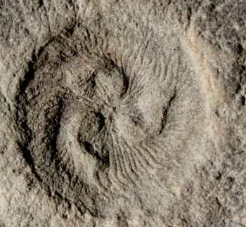 fósil de Tribrachidium