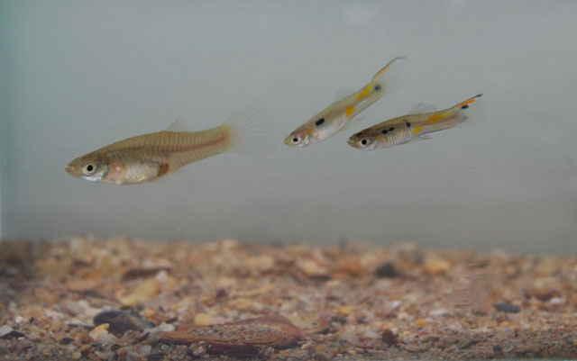 acoso sexual en los peces guppies