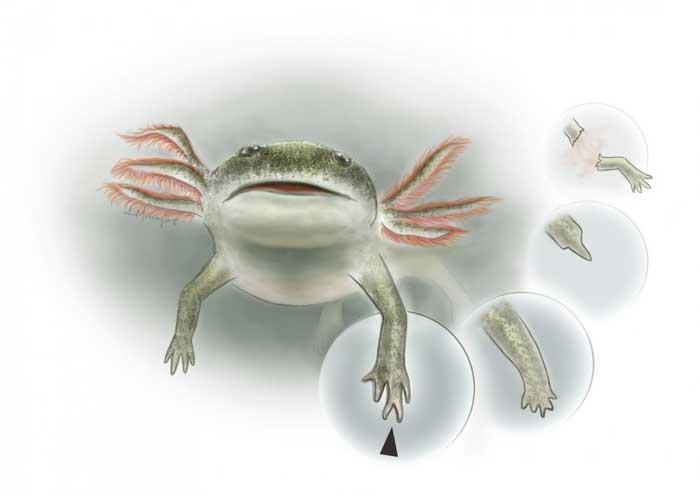 anfibio Micromelerpeton credneri