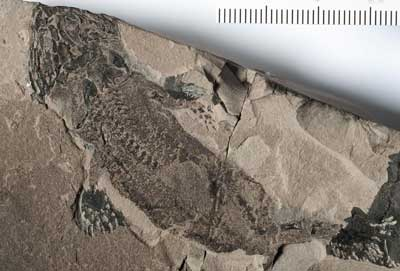 anfibio fósil Micromelerpeton credneri