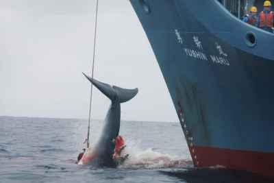 arponero japonés cazando una ballena