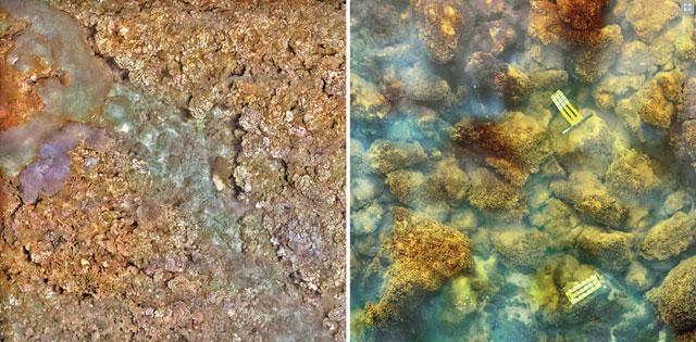 izquierda: arrecife coral saludable, derecha: cubierta de algas