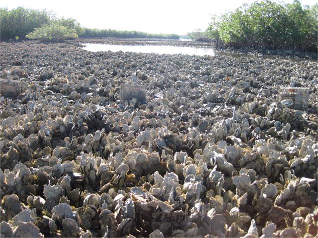 arrecife de ostras en Florida