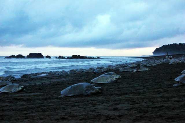 arribada e tortugas golfina al Ostional, Costa Rica