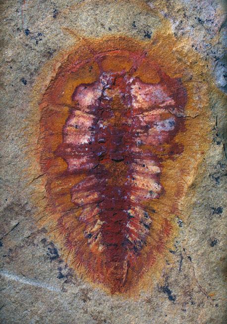 fósil de artrópodo en Fezouata Biota