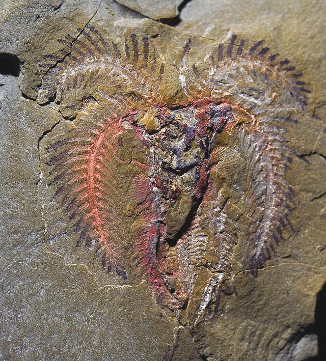 fósil de artrópodo de Fezouata Biota