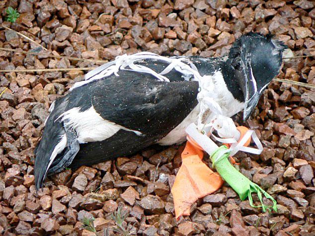 ave marina enredada en plásticos