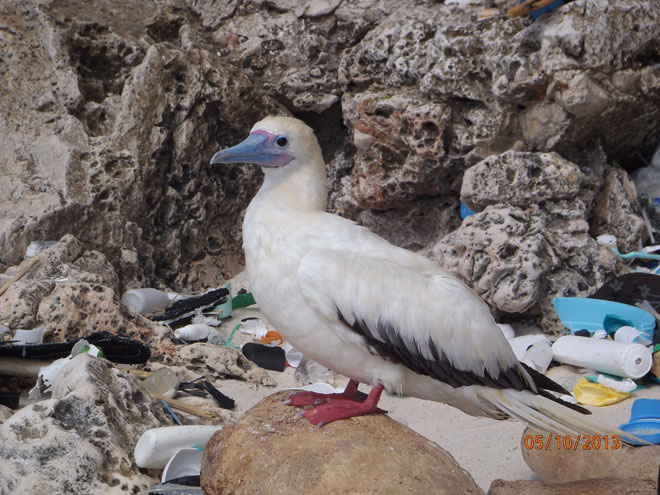 consumo de plástico por aves marinas
