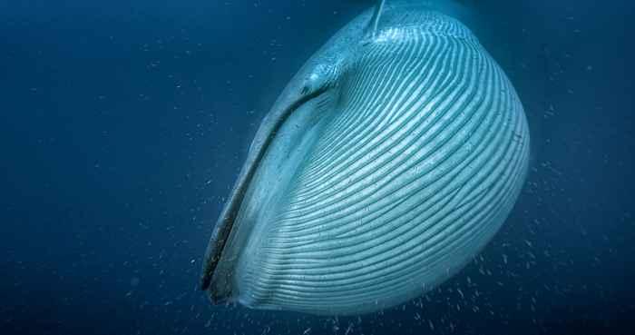 ballena azul alimentándose de krill