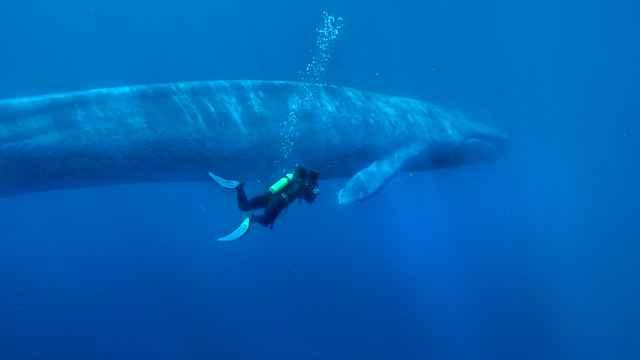 ballena azul y buzo