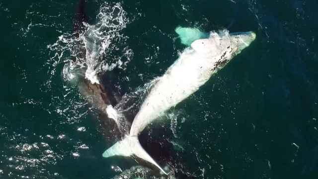 ballena blanca avistada en Sudáfrica juega con su madre