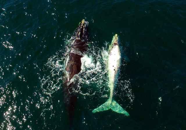 ballena blanca avistada en Sudáfrica nada con su madre