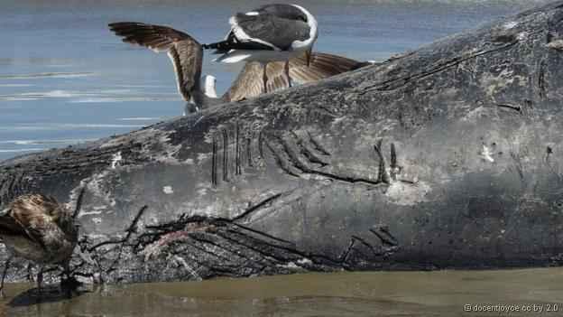 ballena gris con marcas de mordedura de orcas