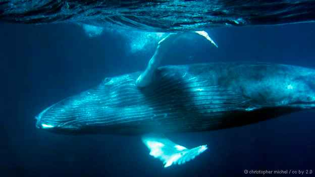 ballena jorobada adulta