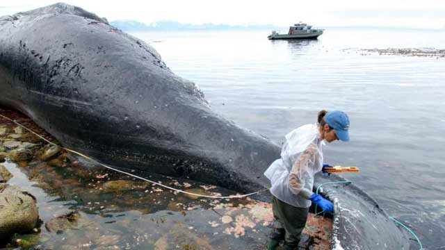 ballena varada en Alaska