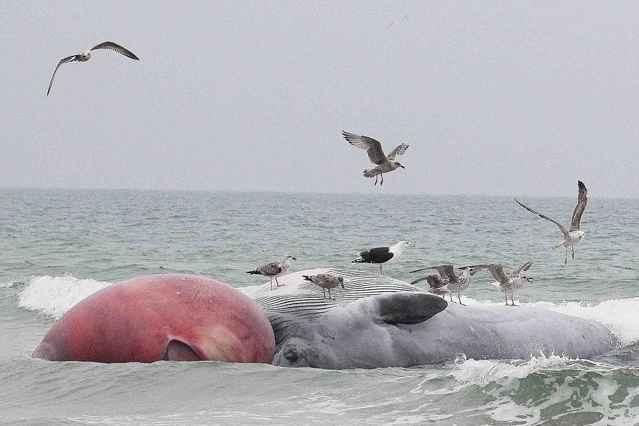 ballena sei varada en una playa de Irlanda