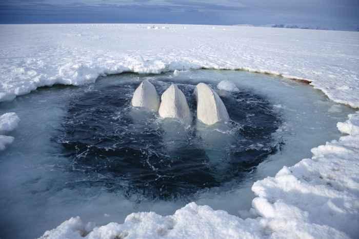 ballenas beluga atrapadas entre el hielo